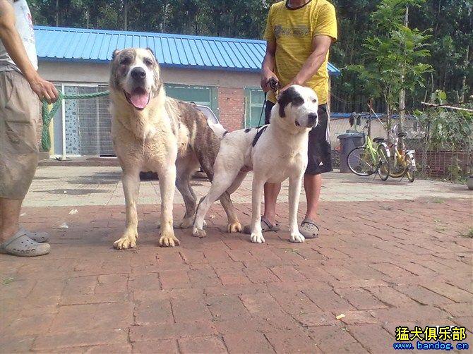 狗女人配对-泰森与巴哈彼得的女儿配狗照