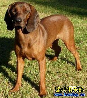 今天发一些其他猎犬品种图片介绍!