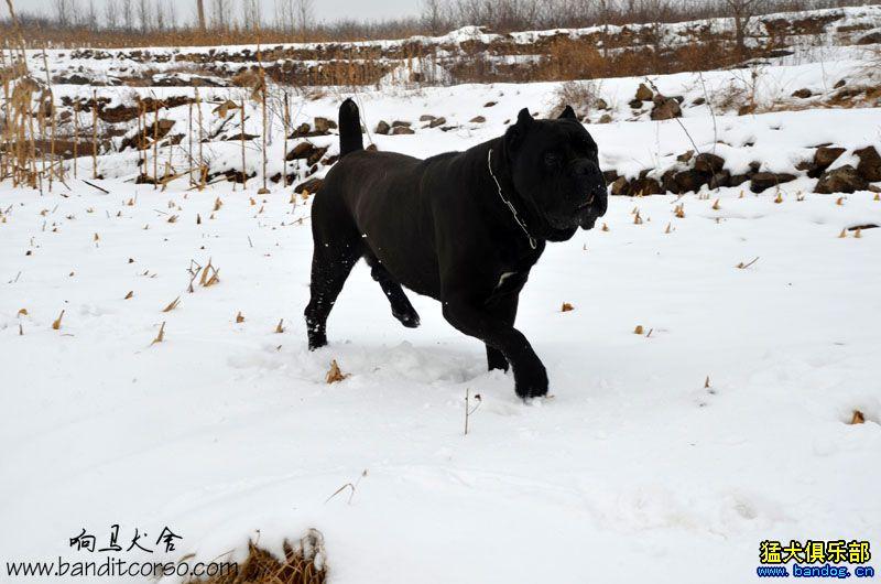 看到这个130斤的大家伙在雪地里疯子一样的撒欢,他是真的玩疯了,那