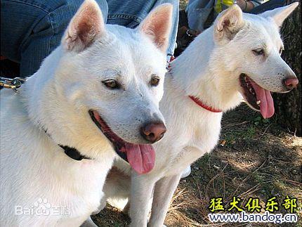 韩国猎犬 珍岛犬