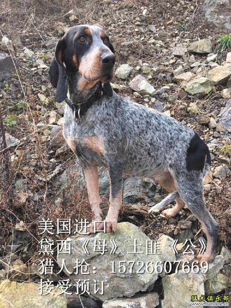 蓝斑猎犬 黛西