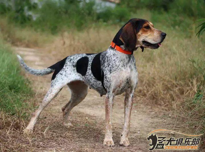 犬 美国豹犬 蓝斑 普罗特,狗场 犬舍